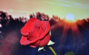 rose-670447_640